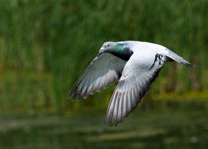Китайские учёные научились управлять полётом голубя
