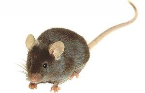 Мстительная мышь
