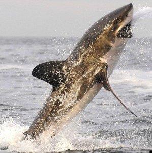 Прыжок через акулу