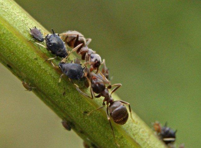 Как муравьи помогут ученым в создании нового антибактериального препарата